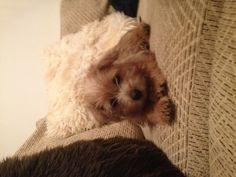 Norfolk terrier pup Molly