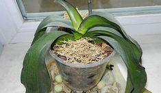 Vite, proč orchidej má zvadlé listy a nekvete: Až poznáte tento fígl, bude se jí dařit jako nikdy! | iRecept.cz Cactus Plants, Sun, Plant, Cacti, Cactus