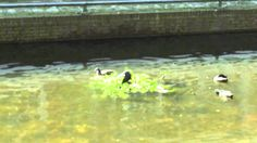 Familie meerkoet in de gracht van Almere-Haven