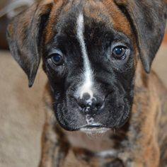 male brindle boxer puppy