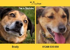 Brilliant Brady at Dogs Trust Basildon is the pawfect companion. He is housetrained and can't wait to find his forever retirement home. Brady can parallel walk with calm doggy pals. Dogs For Adoption Uk, Pet Adoption, Dogs Trust, Animal Rights, Animals Beautiful, Dog Cat, Homes, In This Moment, Pets