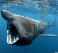 Basking Shark... thank goodness these sharks only eat plankton!! Would love to swim with one.