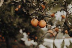 apelsintrad-apelsiner-oranges-orange-tree-garden-greece-greek-grekland-tradgard-grekisk-seos-fotografi-fototryck-inredning-photography-interior-print.jpg