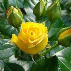 YELLOW ROSE... <3