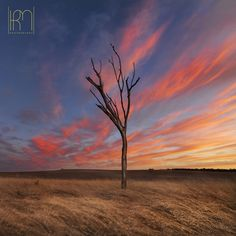 Lone Tree in Chapman Valley