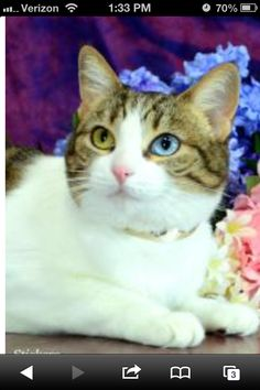 A cat that was for adoption at the Placer SPCA in CA. Notice the heterochromia iridum eyes.