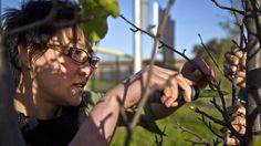Guerrilla Grafters Bring Forbidden Fruit Back To City Trees