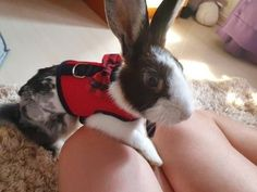 Best Leash, Lead and  Harness for Rabbits!              Rabbit - Collars, Leads Rabbit Facts, Rabbit Breeds, Rabbit Eating, Bunny Care, House Rabbit, New Toys, Pet Accessories, Ferret, Guinea Pigs