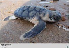 Testudines.org, tortugas y galapagos, sus habitats, cuidados y conservacion