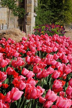 Tulips at Standen by Mark Wordy, via Flickr