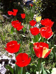 Tulipanes en flor #primavera #flores #rojos #SinFiltros