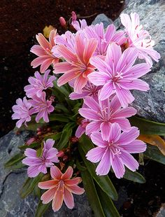 How To Grow An Ice Plant And Purple Ice Plant Care Yard