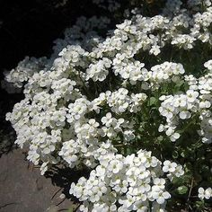 100+ Rockcress White Snow Cap Flower Seeds , Under The Sun Seeds
