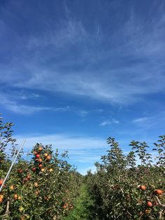 Apple picking - Saratoga, NY