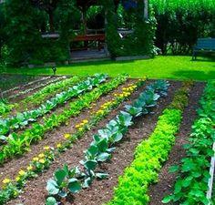 Exotique semences KDO graines pour Décoratif Jardin Plante Cure-dent