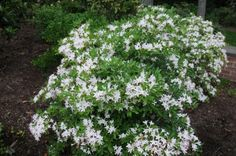 "Rhododendron arborescens ""sweet azalea"""