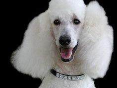 Poodle wearing Diamond Collar