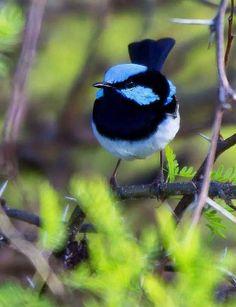 blue Fairy Wren by Jamie Condon by carter flynn Small Birds, Little Birds, Colorful Birds, Pretty Birds, Beautiful Birds, Male Fairy, Australian Animals, Wild Birds, Birds 2