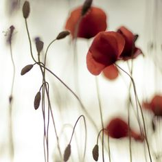 Poppies.  I don't normally go in for nature shots but this is so lovely.