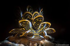 Jerome Kim Photography · Cyerce nigra Unique sea slug in Romblon