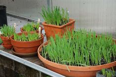 Pet Grass in Clay Pots: grow some pet grass for your dog.  It aids in digestion; a healthy snack