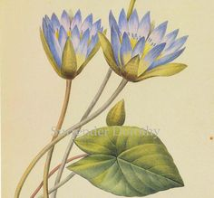 Blue Lotus Waterlily Nymphaea Caerula Flower Vintage Poster Print By Redoute Botanical Lithograph