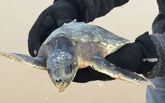 Critically-endangered Kemp's ridley turtles were found in Cumbria and   Merseyside, 5,000 miles from their home