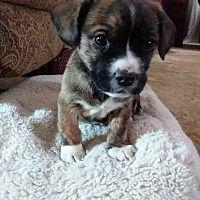 Columbus, Ohio - Pug. Meet Fallon, a for adoption. https://www.adoptapet.com/pet/20570039-columbus-ohio-pug-mix