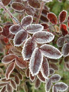 Rose in morning frost. Garden.