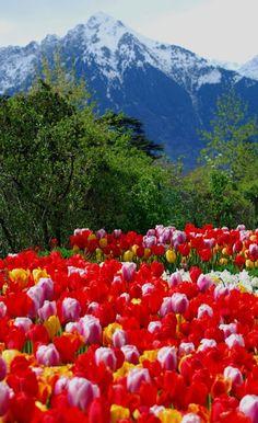 Frühjahrsboten - First Signs of Spring - Merano, Bolzano, Trentino Alto Adige, Italy Copyright: Daniel Strobach