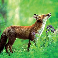 Woodland Trust Red Fox Blank Photographic Greetings Card £1.99