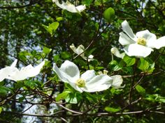 Geotripper: The Dogwoods are Blooming in Yosemite Valley! And North Dome, the Stuff of Legend