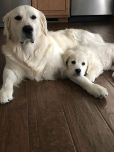 Astonishing Everything You Ever Wanted to Know about Golden Retrievers Ideas. Glorious Everything You Ever Wanted to Know about Golden Retrievers Ideas. Dog Training Methods, Basic Dog Training, Dog Training Techniques, Training Dogs, Best Puppies, Cute Puppies, Perros Chow Chow, Puppy Obedience Training, Dogs Golden Retriever