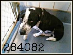 San Antonio, TX *Extremely Urgent @ risk of Euthanasia! **Needs Commitment by 5PM & Picked Up by 6:30PM WED 2/26!** To adopt, foster/ rescue please email: placement@sanantoniopetsalive.org >>> Lucky 284082 is a 3 yr old am super handsome Lab Staff blend approx 50lbs. He is nervous and wil shy away for a few secs but then warms up. He will need someone to help him over come his fearfulness and a little bit of leash training.