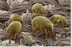 AIRLIFE MUNDIAL te dice ¿existen los ácaros en el sistema de aire acondicionado? los ácaros del polvo son pequeños animales microscópicos, (miden aproximadamente 0,3 milímetros) emparentados con las arañas, La introducción en los últimos 50 años de cambios en la forma de construcción de las casas y en los hábitos de limpieza, han potenciado la proliferación de los ácaros del polvo doméstico, la introducción del uso de aspiradores. http://airlifeservice.com/