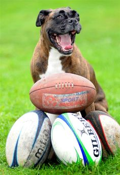They're mine! All mine! by Mike Walker/Rex USA--Bess the Boxer would be the envy of every dog in the world with her collection of 180 rugby balls, but sadly her owners keep returning them. She discovers the balls while walking near the Havant Rugby Club in Hampshire, England and their return has saved the club a lot of money. It also earned Bess her own lifetime membership to the club.