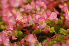 Begonias'