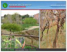 Resultado de imagen para serbal de cazadores sorbus aucuparia