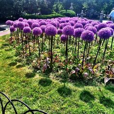 Allium flower, aka truffula flower from Dr. Seuss | 22 Insanely Cool Conversation-Piece Plants For Your Garden