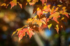 Close-up of Autumn Leaves in New Jersey  - http://earth66.com/autumn/close-autumn-leaves-new-jersey/