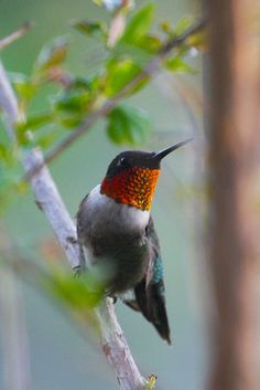 ruby - throat hummingbird