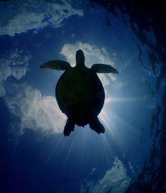turtle by Dan Norwood Turtle Spirit Animal, Spirit Animal Totem, Animal Totems, Animal Medicine, Pet Rocks, Painting Tips, Otters, Whale, Dan