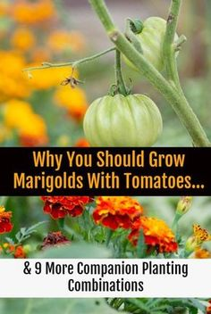 Growing marigolds (and some of these nine other plants) with your tomatoes will ensure a bountiful, tasty harvest free of pests and disease. ideas 10 Tomato Companion Plants To Get The Most Delicious Tomatoes This Year Perennial Vegetables, Growing Vegetables, Gardening Vegetables, Gardening For Beginners, Gardening Tips, Flower Gardening, Gardening Zones, Tomato Companion Plants, Herb Companion Planting