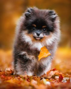 Marvelous Pomeranian Does Your Dog Measure Up and Does It Matter Characteristics. All About Pomeranian Does Your Dog Measure Up and Does It Matter Characteristics. Teacup Puppies, Cute Puppies, Cute Dogs, Dogs And Puppies, Bulldog Puppies, Baby Dogs, Pomeranian Facts, Cute Pomeranian, Animals And Pets