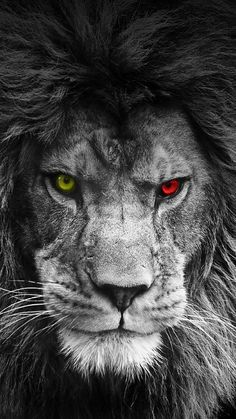 Browse millions of popular galatasaray wallpapers and ringtones on zedge an Lion Wallpaper Iphone, Animal Wallpaper, Mobile Wallpaper Android, Colorful Wallpaper, Lion Images, Lion Pictures, Lion Eyes, Lion Photography, Lion Sketch