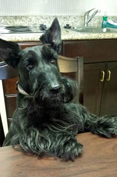Community Post: What Every Scottish Terrier Owner Knows I Love Dogs, Cute Dogs, Dog Travel, Dogs And Puppies, Doggies, Dog Paws, Terrier Dogs, Little Dogs, House In The Woods