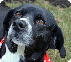 Pictures of Rif a Beagle Mix for adoption in Bridgeton, MO who needs a loving home.