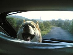 Does your dog get anxious in the car? Do they pant and never settle down? Do they vomit at even the thought of a car ride? Travel anxiety and carsickness can ruin a road trip before it even begins.
