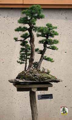 Bonsaï & Penjing - Tamarack 100 yrs C20050701 119 at the Tree House by fotoproze on Flickr.