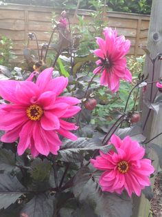 """Dahlia""""Fascination"""", a lovely shade of pink."""
